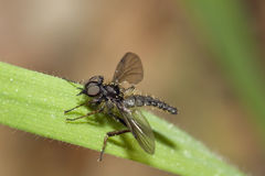 Black March Fly royalty free stock images