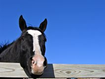 Black Mare. With head over fence Royalty Free Stock Image