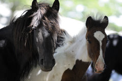 Black mare and foal. Black Wild horse and is colt are free in the mountains Royalty Free Stock Photo