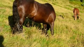Black mare and foal grazing together on pasture in late summer. In Carpathian Mountains at dawn on background of a hill with green grass in late August. Horse stock video footage