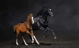 Black mare and her bay foal. Galloping mare with foal on dark background stock photography