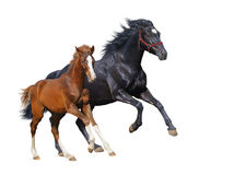 Black mare and sorrel foal gallop. Isolated on white stock photo