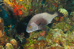 Black Margate on a Coral Reef - Roatan Royalty Free Stock Photo