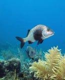 Black Margate fish. Coral reef  off the coast of the Craibbean island, Roatan Royalty Free Stock Photo