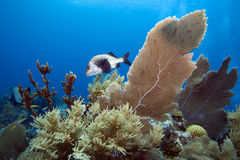 Black Margate fish on coral reef Stock Photography