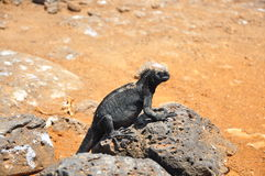A black marine Iguana. Sitting on a rock Galapagos Islands Stock Images
