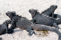 Black marine iguanas on beach Royalty Free Stock Photo