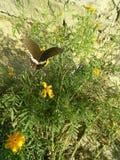 Black mariposa on marigold . stock photography