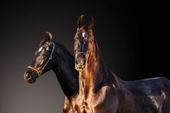 Black Marwari mares posing together at dark grey gradient  backg Royalty Free Stock Images