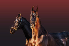 Black Marwari mares posing together at gradient background.  Royalty Free Stock Photo