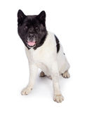 Black Mask Akita Sitting Over White Background Royalty Free Stock Image