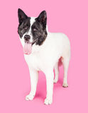 Black Mask Akita Standing Over Pink Background Royalty Free Stock Image