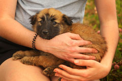 Black mask puppy on human lap. Close up photo Stock Images