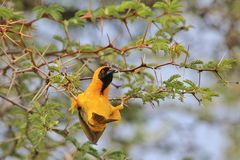 Black Masked Weaver - African Wild Bird Background - Agile Acrobat. A Southern Black Masked Weaver male hangs acrobatically from a thorn tree branch, as seen in Stock Photos