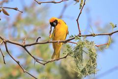 Black Masked Weaver - African Wild Bird Background - Funny Scratch. A Southern Black Masked Weaver male scratches at an itch in hilarious consequence, as seen in Stock Photo