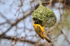 Black Masked Weaver - African Wild Bird Background - Hanging around Home Royalty Free Stock Photography