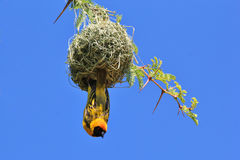 Black Masked Weaver - African Wild Bird Background - Home Sweet Home Stock Photos