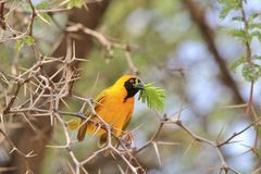Black Masked Weaver - African Wild Bird Background - Peace Symbol. A Southern Black Masked Weaver male holds a leaf in its beak as the breeding and nesting Stock Photo
