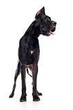Black mastiff Royalty Free Stock Images
