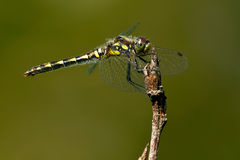 Black Meadowhawk Dragonfly Royalty Free Stock Images