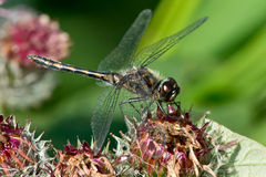 Black Meadowhawk Dragonfly Royalty Free Stock Image