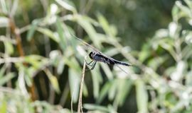 Black Meadowhawk Sympetrum danae Perched on a Stick. In a Wet Meadow in Colorado royalty free stock photography