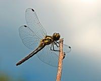 Black Meadowhawk, Sympetrum danae Stock Image