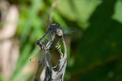 Black Meadowhawks. In the wheel position, mating stock images