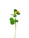 Black medic (Medicago lupulina) Royalty Free Stock Photography