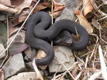 Black (melanic) common adder. Close up of a melanistic individual of common adder (Vipera berus) in its natural habitat Stock Image