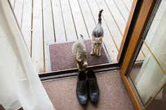 Black men`s leather shoes are standing on the threshold. Two stray cats sniff men`s shoes. details. Black men`s leather shoes are standing on the threshold. Two stock photos