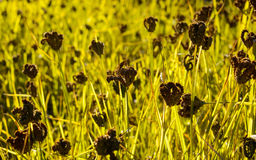 Black millet field Royalty Free Stock Photo