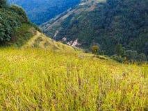 Black millet field in Nepal Stock Images