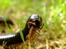 Black Millipede 5 Royalty Free Stock Photos