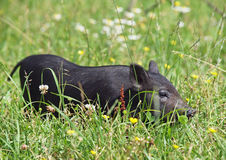 Black mini pig in grass Royalty Free Stock Image