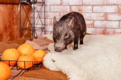 Black mini pig portrait. Little pink piglets. Funny small mini piggy and oranges, tangerines.Chinese horoscope, Happy. Black mini pig portrait. Little pink stock photo