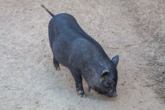 Black mini piggy Stock Images