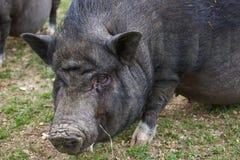 Black Mini Potbellied Pig Portrait. Potbellied pig portrait, black Potbellied pig, mini Potbellied pig, Happy Pig, Organic Pig Royalty Free Stock Image