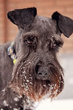 Black mini schnauzer in snow Royalty Free Stock Photography