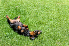 Black miniature daschund. Laying on back in the grass Royalty Free Stock Image