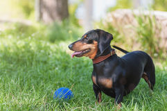 Black miniature dog in the park with rubber toy. Miniature dog in the park with rubber toy at training Stock Images
