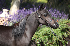 Black miniature horse in front of purple flowers Stock Photography