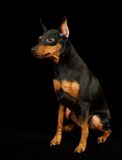 Black Miniature Pinscher Royalty Free Stock Photo