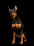 Black Miniature Pinscher Stock Image