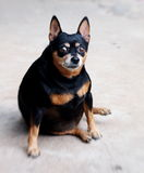 Black miniature pinscher dog Stock Photo
