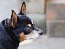 Black miniature pinscher dog Stock Images