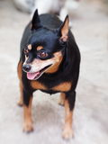 Black miniature pinscher dog Royalty Free Stock Photo