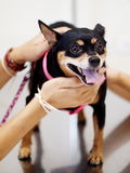 Black miniature pinscher dog Stock Image