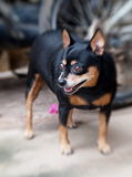 Black miniature pinscher dog Stock Images
