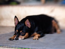 Black miniature pinscher Royalty Free Stock Images